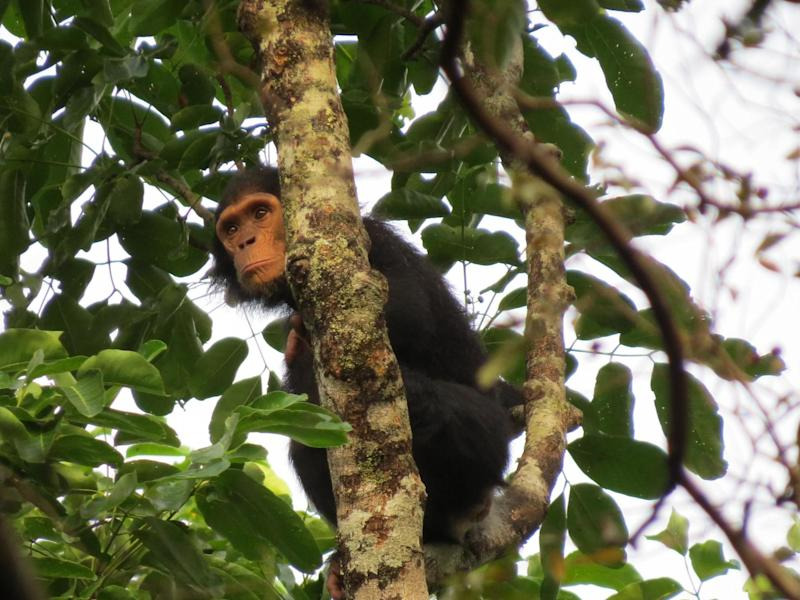 Eastern chimpanzee in Chinko Nature Reserve in the Central African Republic: Kelsey Green (African Parks)