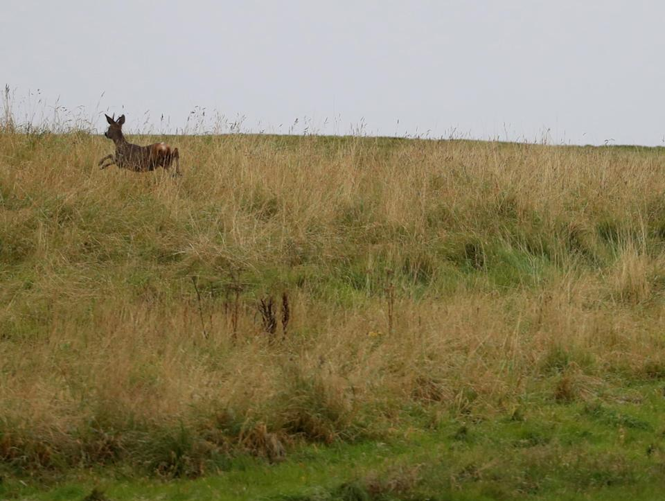 <p>A deer runs on one of the three courses at Turnberry</p>Reuters