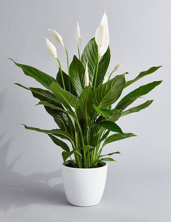 """<p><strong>PrettyInGreenPlants</strong></p><p>etsy.com</p><p><a href=""""https://go.redirectingat.com?id=74968X1596630&url=https%3A%2F%2Fwww.etsy.com%2Flisting%2F520527826%2Fpeace-lily-air-purifying-plant-easy-care&sref=https%3A%2F%2Fwww.elledecor.com%2Fshopping%2Fbest-stores%2Fg19574855%2Fbuy-plants-online%2F"""" rel=""""nofollow noopener"""" target=""""_blank"""" data-ylk=""""slk:Shop Now"""" class=""""link rapid-noclick-resp"""">Shop Now</a></p><p>Etsy is a Garden of Eden when it comes to buying plants online. You can find a seller offering pretty much any (legal) plant you could think of, such as this air-purifying peace lily. It's one of many <a href=""""https://www.elledecor.com/life-culture/cleaning-organizing/g19496912/air-cleaning-plants/"""" rel=""""nofollow noopener"""" target=""""_blank"""" data-ylk=""""slk:plants that help you breathe"""" class=""""link rapid-noclick-resp"""">plants that help you breathe</a> and <a href=""""https://www.elledecor.com/life-culture/cleaning-organizing/g13027544/house-plants-that-help-you-sleep/"""" rel=""""nofollow noopener"""" target=""""_blank"""" data-ylk=""""slk:sleep"""" class=""""link rapid-noclick-resp"""">sleep</a> well.</p>"""