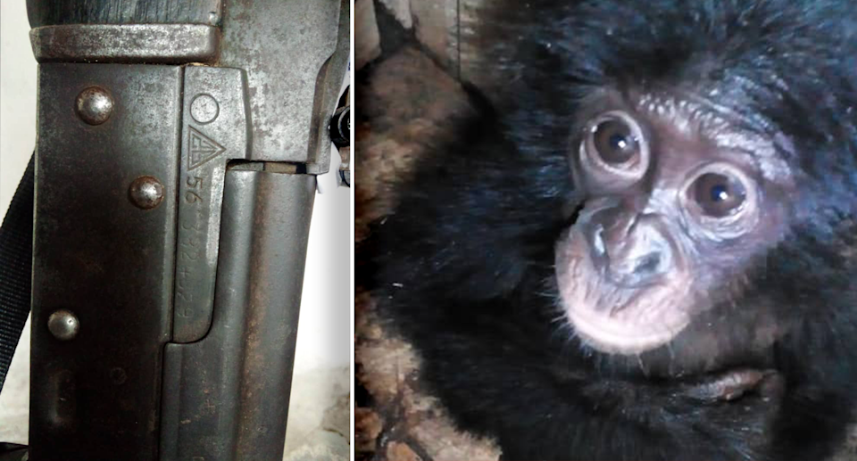 A gun was seized as the young bonobo was rescued. Source: Supplied
