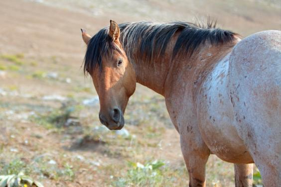 A wild horse in the Pryor Mountains (Getty/iStock)