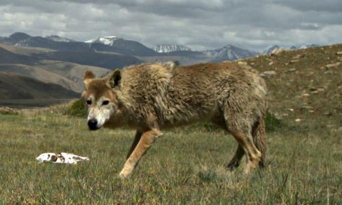 Himalayan wolf lopes towards recognition as distinct species