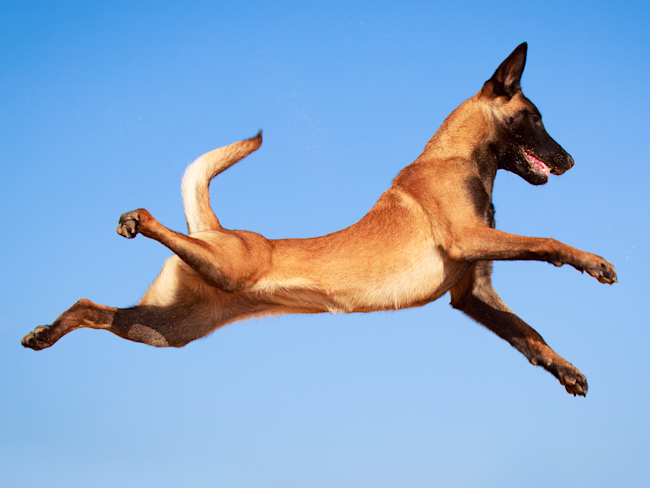 most active dog breeds