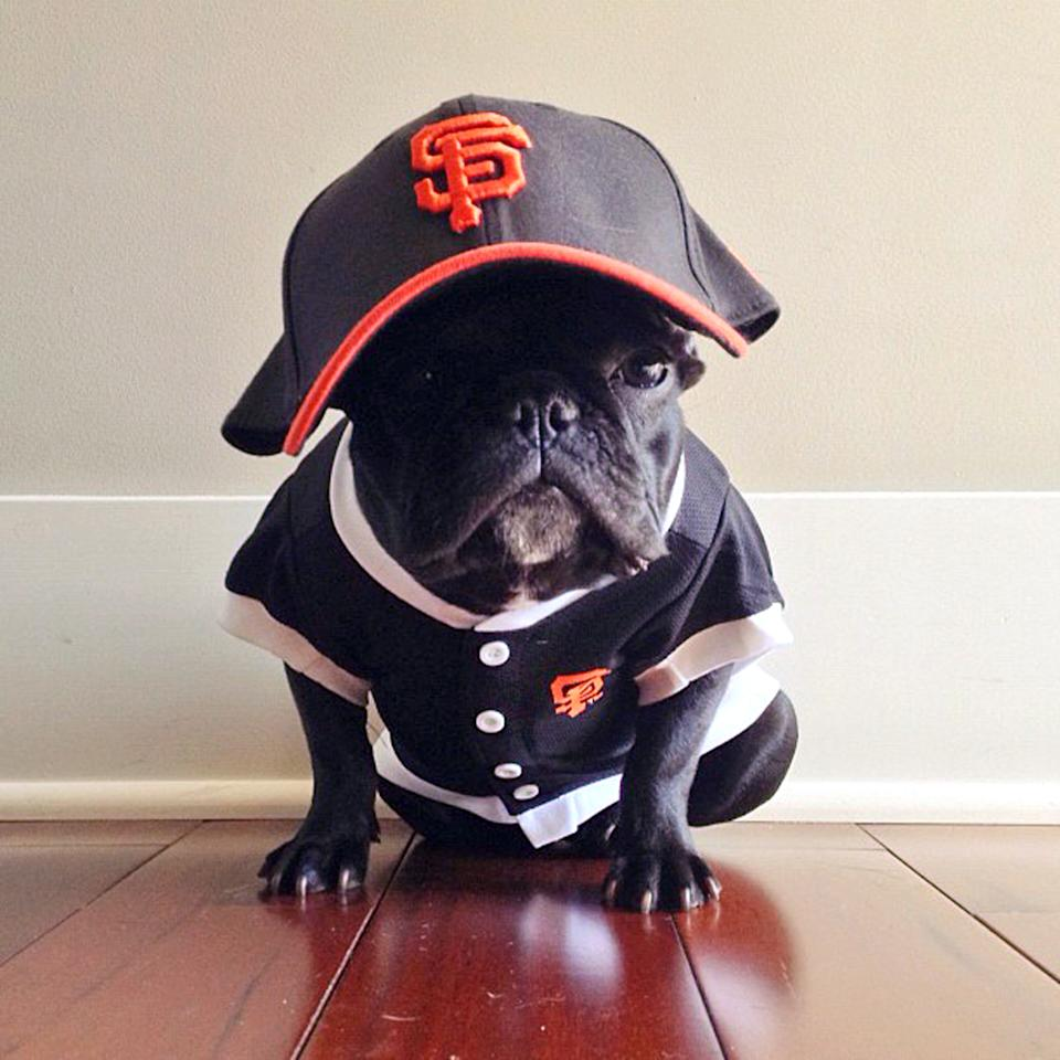 PIC BY SONYA YU / CATERS NEWS - (PICTURED: Trotter dressed up in a San Francisco Giants baseball kit) - An adorable little French Bulldog has been playing dress-up and has impressively gathered a following of 30,000 on Instagram. The photogenic hipster, called Trotter, wears a range of outfits from a beret, moustache, top hat and pipe to high heels. Owner and Trotters photographer Sonya Yu said her little pup is simply a natural in front of the camera. SEE CATERS COPY