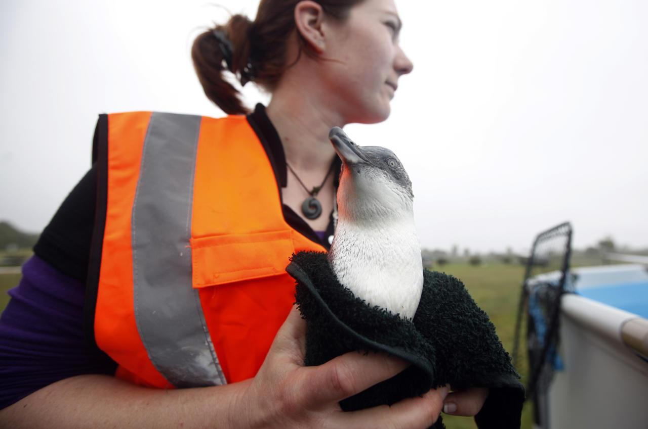 A volunteer Pualin Conayne holds an oiled little blue penguin at the wildlife facility in Tauranga, New Zealand Tuesday, Oct. 11, 2011. The penguins were rescued from the sea following the Liberia-flagged container ship Rena which ran aground last Wednesday has been leaking fuel. (AP Photo/ Natacha Pisarenko)