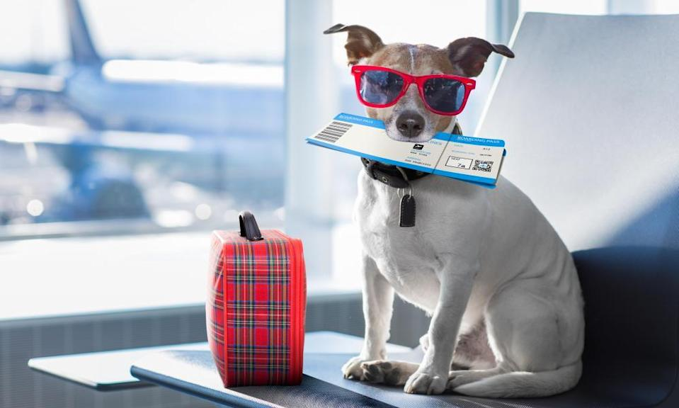 jack russell dog waiting in airport terminal ready to board the airplane