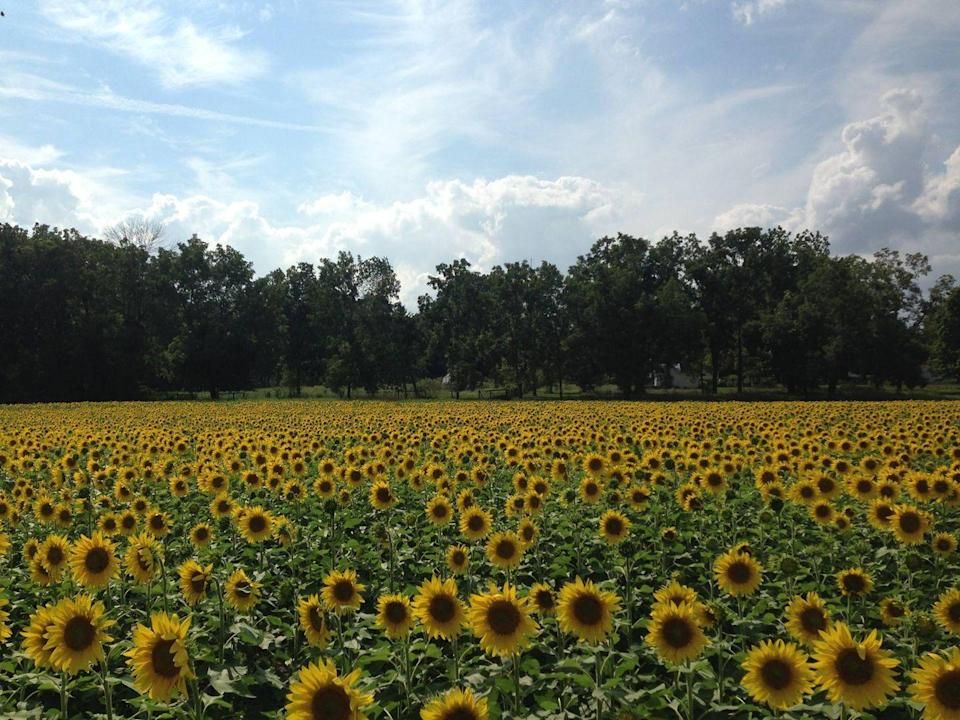 """<p>This breathtaking field of 400,000 sunflowers in Yellow Springs, Ohio, is privately owned, but is now open to the public all thanks to the Whitehall Farm and the <a href=""""http://tecumsehlandtrust.org/"""" rel=""""nofollow noopener"""" target=""""_blank"""" data-ylk=""""slk:Tecumseh Land Trust"""" class=""""link rapid-noclick-resp"""">Tecumseh Land Trust</a>. Anyone can visit, though you'll want to be sure to park in the designated areas (not on the side of the road) and leave the flowers in place (these beauties aren't for picking). </p><p><a class=""""link rapid-noclick-resp"""" href=""""https://go.redirectingat.com?id=74968X1596630&url=https%3A%2F%2Fwww.tripadvisor.com%2FTourism-g51181-Yellow_Springs_Ohio-Vacations.html&sref=https%3A%2F%2Fwww.countryliving.com%2Flife%2Ftravel%2Fg21937858%2Fsunflower-fields-near-me%2F"""" rel=""""nofollow noopener"""" target=""""_blank"""" data-ylk=""""slk:PLAN YOUR TRIP"""">PLAN YOUR TRIP</a></p>"""
