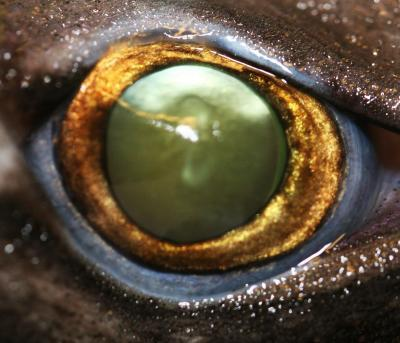 Glow-in-the-Dark Sharks' Eyes Evolved to See in Ocean's Twilight Zone