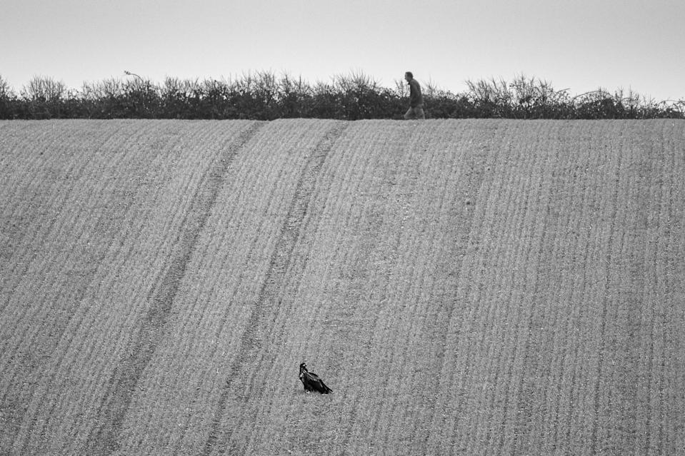 One of the birds sitting in a grain field apparently unnoticed by a nearby walker (Ainsley Bennett/PA)