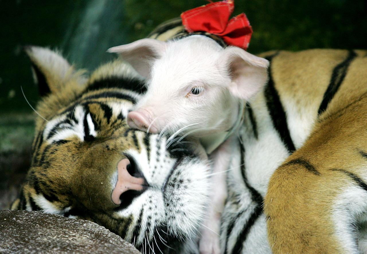 PIGLET SLEEPS ON A TIGER AT SIRACHA ZOO.