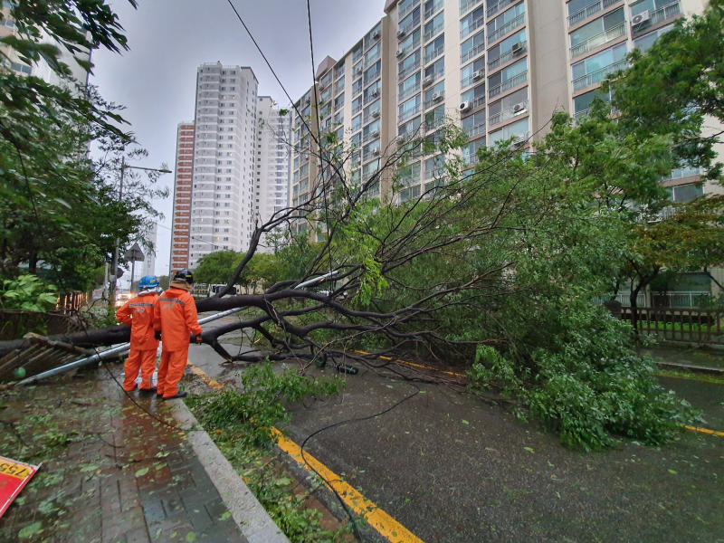 In this Sept. 22, 2019, photo, traffic road is blocked by trees as typhoon Tapah approaches in Busan, South Korea. A powerful typhoon battered southern South Korea, injuring 26 people and knocking out power to about 27,790 houses, officials said Monday. (Cha Keun-ho/Yonhap via AP)