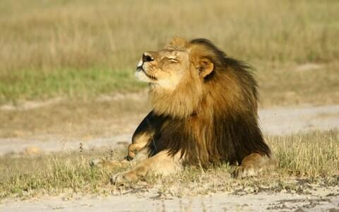 Cecil basks in the sun at Hwange National Park  - Credit: Reuters