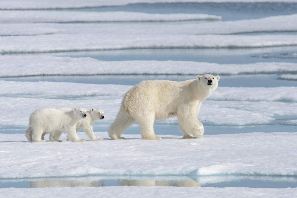 Wild polar bear (Ursus maritimus) mother and cub on the pack ice