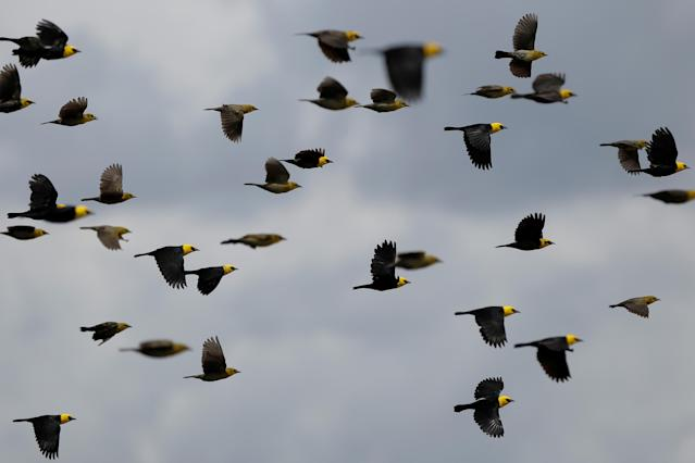 <p>Yellow-hooded blackbirds fly over the Mamiraua Sustainable Development Reserve in Uarini, Amazonas state, Brazil, Feb.25, 2018. (Photo: Bruno Kelly/Reuters) </p>