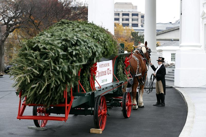 An attendant checks the horses after first lady Michelle Obama received the Official White House Christmas Tree at the White House in Washington, Friday, Nov. 25, 2016. The Balsam-Veitch fir from Dave and Mary Vander Velden, of Oconto, Wis., is 19 feet tall and 12 feet wide. (AP Photo/Alex Brandon)