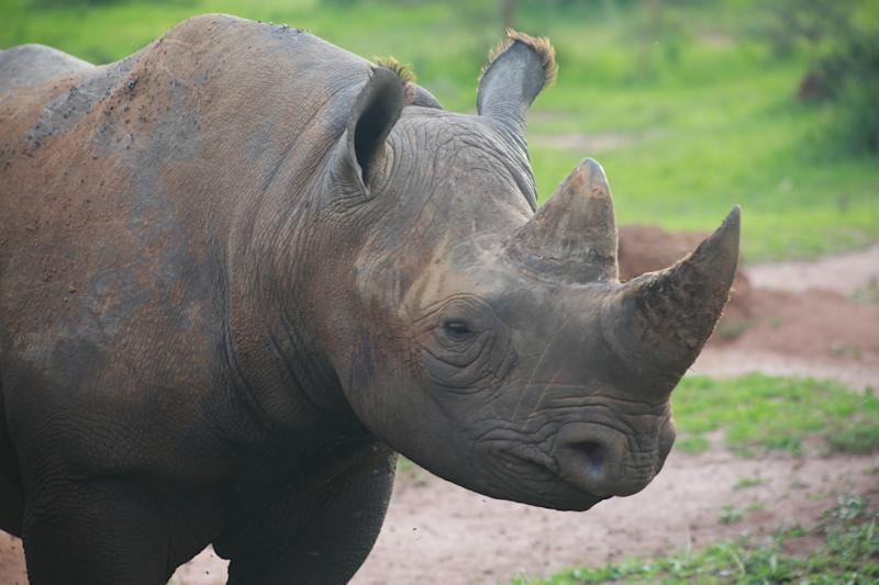 KIGALI, Nov. 16, 2019 -- A black rhino is seen at Akagera National Park, eastern Rwanda, Nov. 16, 2019. Since 2010, Akagera National Park has undergone a revival, with poaching practically eliminated, allowing for key species to be reintroduced, including lions in 2015, which have since tripled in number, and rhinos in 2017, a decade after they were last seen in Rwanda. In June 2019, five more critically endangered black rhinos from Europe were translocated to the park. (Photo by Lyu Tianran/Xinhua via Getty) (Xinhua/Lv Tianran via Getty Images)