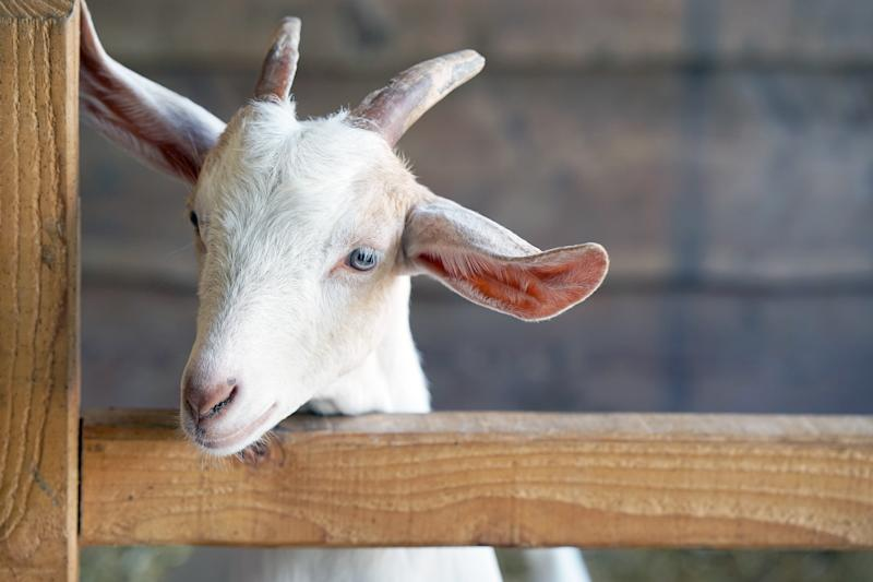 Head of a little goat on a farm. Portrait of a young goat.