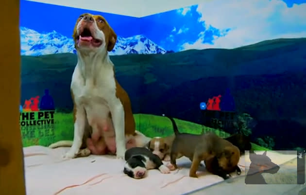 Rescued pit bull puppies get a new leash on life (VIDEO)