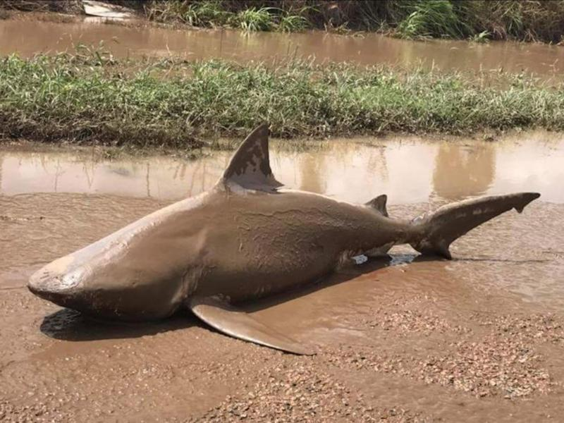 The shark was beached by Cyclone Debbie which struck the north east of Australia this week: QFES