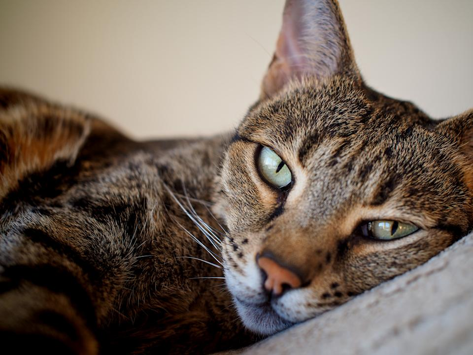 a relaxed Savannah cat on bed