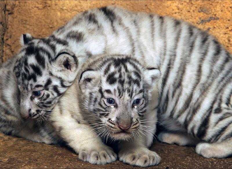 Two-month old white tiger cubs are seen at the Attica Zoological Park in Spata, near Athens, Friday, June 29, 2012. (AP Photo/Thanassis Stavrakis)