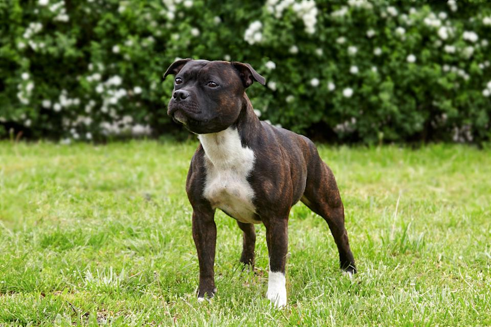 The dog that attacked the boy was a Staffordshire bull terrier, similar to the one pictured. (Getty/stock photo)