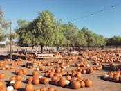 """<p>If you're looking for some more grownup fall fun, head to <a href=""""https://go.redirectingat.com?id=74968X1596630&url=https%3A%2F%2Fwww.tripadvisor.com%2FTourism-g33165-Temecula_California-Vacations.html&sref=https%3A%2F%2Fwww.countryliving.com%2Flife%2Ftravel%2Fg21273436%2Fpumpkin-farms-near-me%2F"""" rel=""""nofollow noopener"""" target=""""_blank"""" data-ylk=""""slk:Temecula, California's"""" class=""""link rapid-noclick-resp"""">Temecula, California's</a> <a href=""""http://www.peltzerfarms.com/"""" rel=""""nofollow noopener"""" target=""""_blank"""" data-ylk=""""slk:Peltzer Pumpkin Farm"""" class=""""link rapid-noclick-resp"""">Peltzer Pumpkin Farm</a>, which doubles as a winery. Make plans for a farm-to-table dinner for date night or make it a family adventure with a trip to their pumpkin patch. </p><p><a class=""""link rapid-noclick-resp"""" href=""""https://go.redirectingat.com?id=74968X1596630&url=https%3A%2F%2Fwww.tripadvisor.com%2FAttractions-g33165-Activities-c61-Temecula_California.html&sref=https%3A%2F%2Fwww.countryliving.com%2Flife%2Ftravel%2Fg21273436%2Fpumpkin-farms-near-me%2F"""" rel=""""nofollow noopener"""" target=""""_blank"""" data-ylk=""""slk:PLAN YOUR TRIP"""">PLAN YOUR TRIP</a><br></p>"""