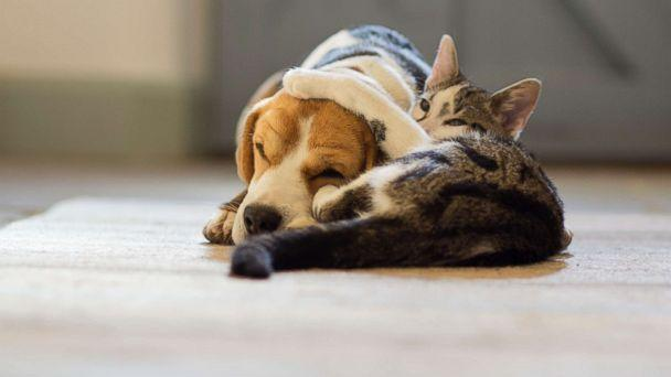 PHOTO: A Beagle dog and a moggy cat cuddle up to each other in this undated photo. (Getty Images)