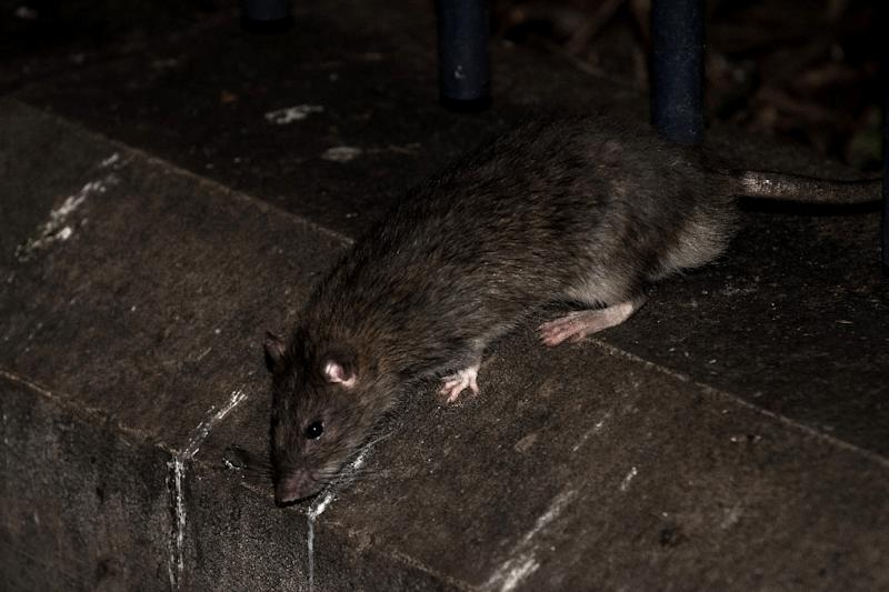 Paris Mayor Anne Hidalgo said the city would buy new traps for the rats and surround some of the city's 30,000 rubbish bins with wooden or Plexiglass bases
