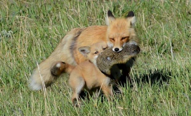 A red fox and her pup with a meal of a ground squirrel.