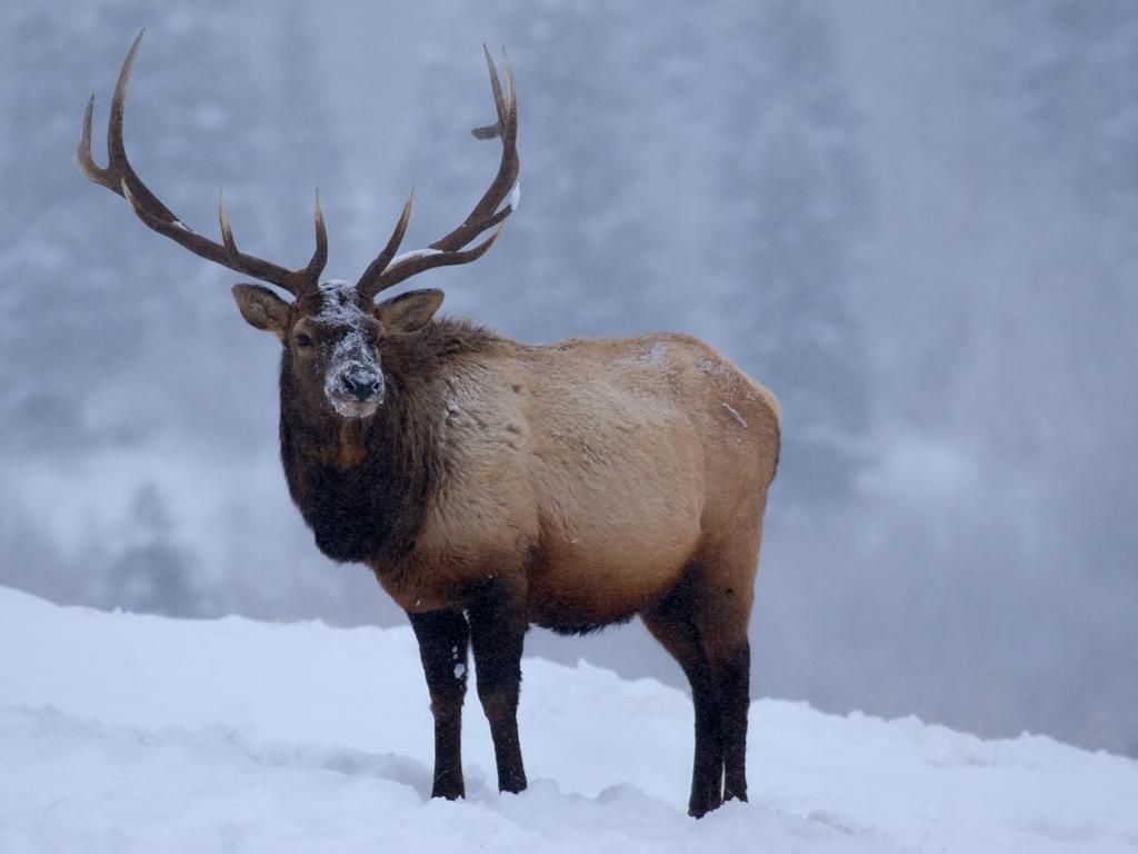 <b>Elk</b> (Cervus elaphus canadensis)<br>Boreal Forest, Canada<br><br>Bull elk grow antlers each May in preparation for violent breeding right battles. During these competitions, the iconic velvety layer on their antlers gets stripped away.