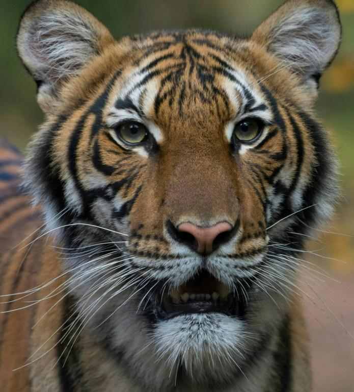 Four-year-old Malayan tiger Nadia who has tested positive for Covid-19