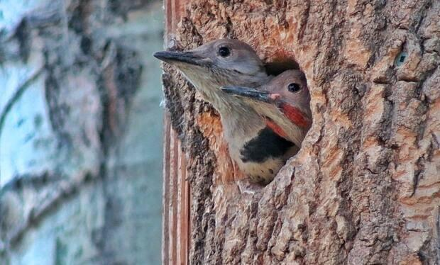 Baby flickers wait safely in the nest for their mother to return with food.