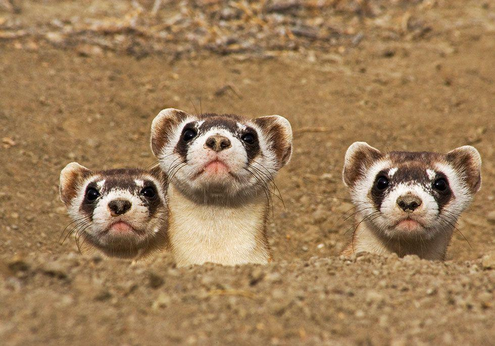 "<p>These furry critters have the distinction of being the most endangered mammals in North America, according the <a rel=""nofollow"" href=""https://www.worldwildlife.org/species/black-footed-ferret"">World Wildlife Fund</a>, with around 300 left across the continent. Their existence is threatened by disease and loss of habitat.  </p>"