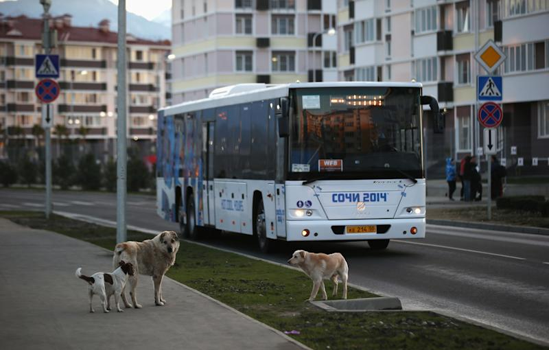 SOCHI, RUSSIA - FEBRUARY 07: Stray dogs are pictured infront of an Olympic transport bus ahead of the Sochi 2014 Winter Olympics at the Russkiy Dom media village on February 7, 2014 in Sochi, Russia. (Photo by Bruce Bennett/Getty Images)