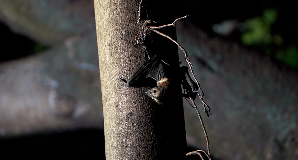 Animal Liberation Queensland say young flying foxes remained at the roosting site on Saturday morning. Source: Supplied