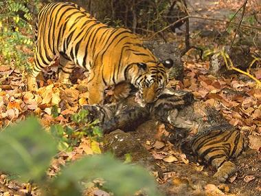 Tiger-cannibalism in Kanha Tiger Reserve: Rare phenomenon has less to do with hunger than anger
