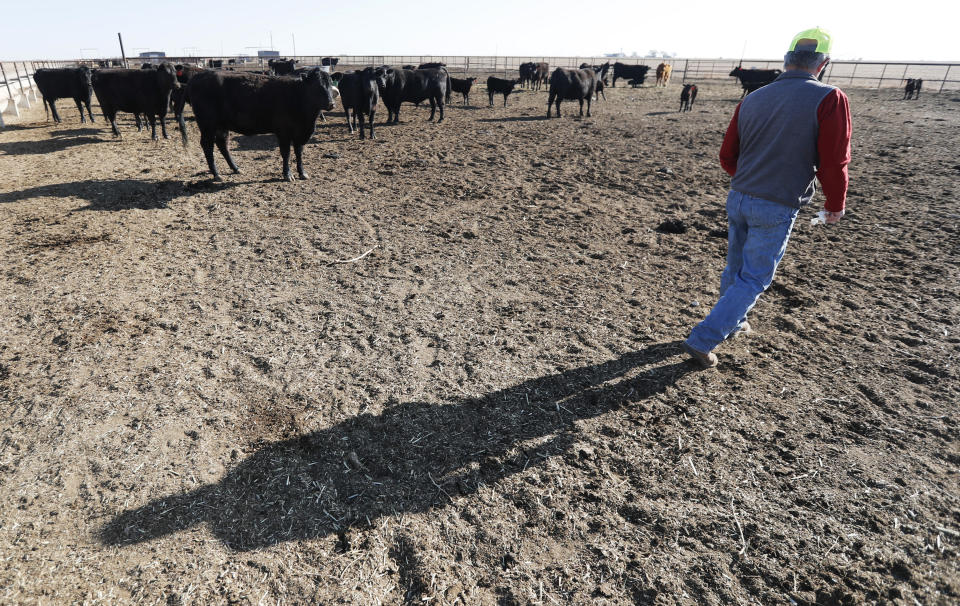 Tim Black checks on some of his Black Angus cattle at his Muleshoe, Texas, farm on Monday, April 19, 2021. The longtime corn farmer now raises cattle and plants some of his pasture in wheat and native grasses because the Ogallala Aquifer, needed to irrigate crops, is drying up. (AP Photo/Mark Rogers)