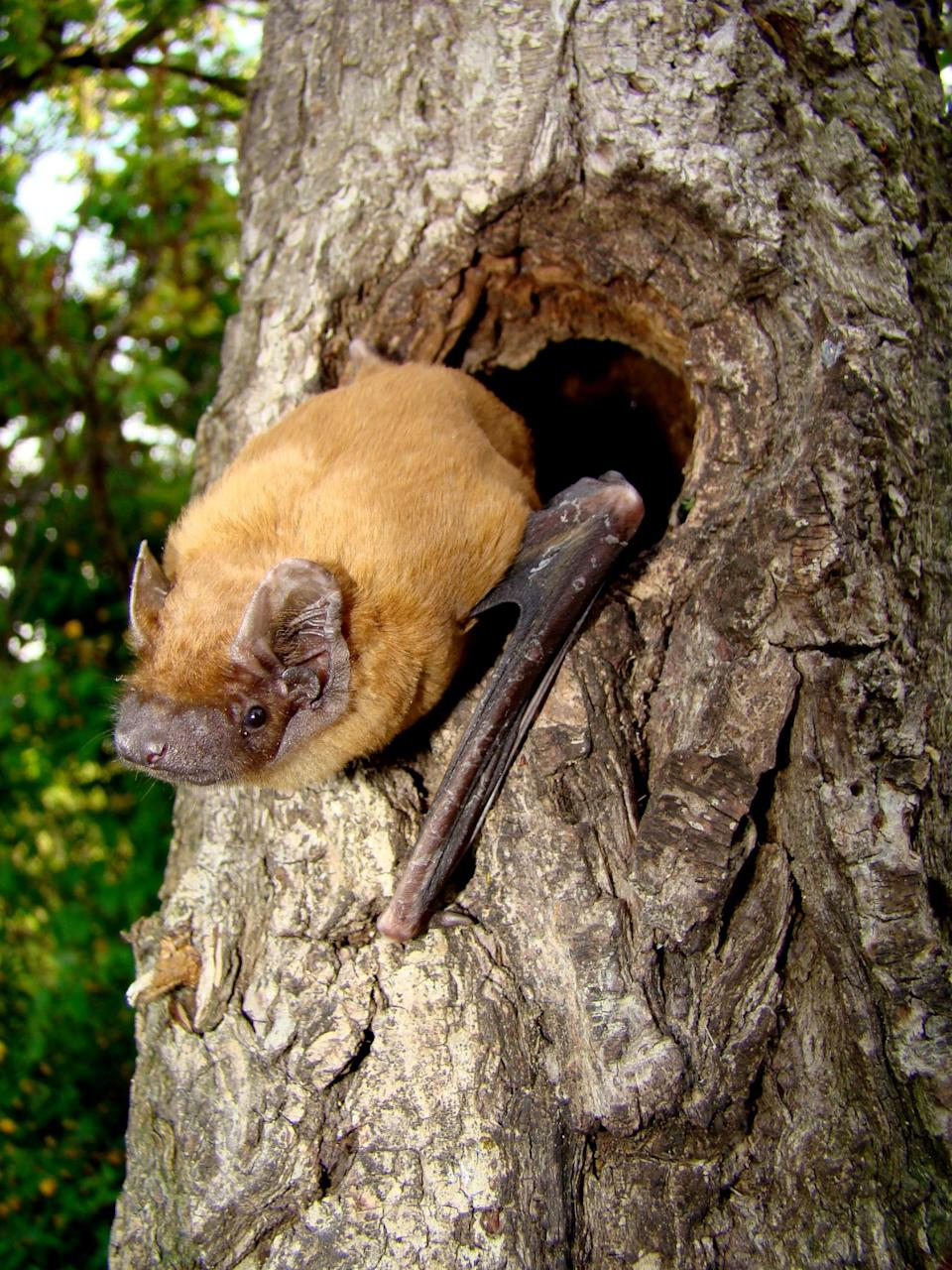Woodland bats are key indicator species for the health of the habitat as a whole (Martin Celuch/www.bats.org.uk/PA)