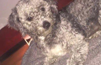 Byron the Maltipoo vanished from his home in Houston in early 2020.