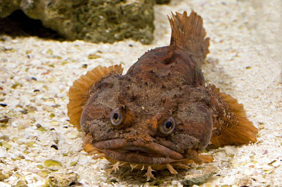 """<p>It's believed that these fish can actually <a href=""""http://bransonswildworld.com/orange-toadfish/"""" rel=""""nofollow noopener"""" target=""""_blank"""" data-ylk=""""slk:survive out of the water"""" class=""""link rapid-noclick-resp"""">survive out of the water</a> for an extended period of time, although you probably wouldn't want to run into one of them. They're known to be quite poisonous. </p>"""