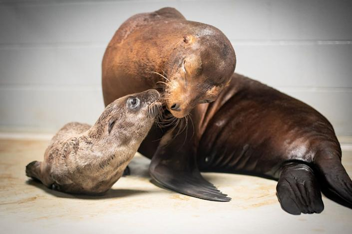 Lovell gives a smooch to her little one. (Photo: Grahm S. Jones, Columbus Zoo and Aquarium)