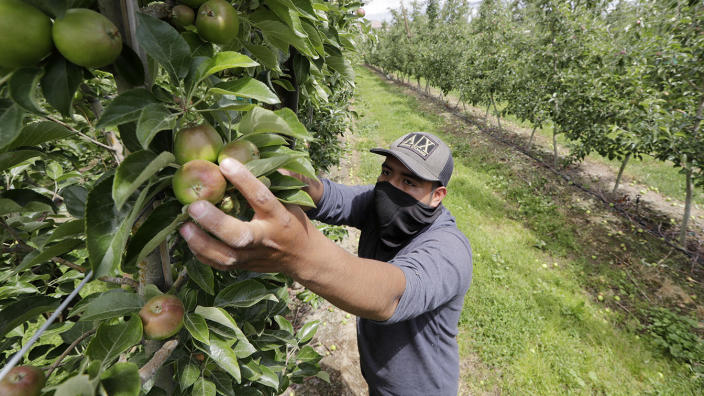 Orchard worker Francisco Hernandez reaches to pull honey crisp apples off the vine during a thinning of the trees at an orchard in Yakima, Wash in June. (Elaine Thompson/AP)