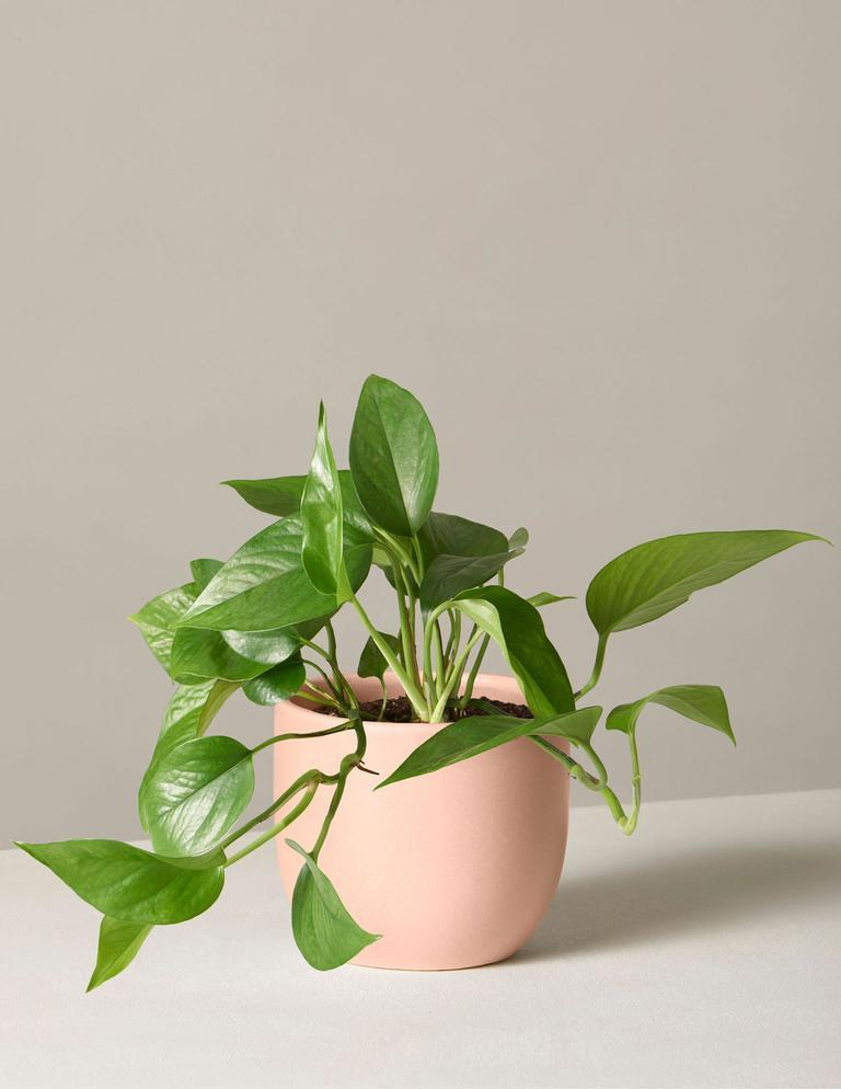"<p>Liven up the classroom with a little something green and growing for their desk. This potted plant—with its lush, quick-growing vines and low maintenance needs—will be at home in any science lab.</p> <p><strong><em>Shop Now: </em></strong><em>The Sill Jade Pothos, $33, <a href=""https://shareasale.com/r.cfm?b=1170803&u=1772040&m=79314&urllink=https%3A%2F%2Fwww.thesill.com%2Fproducts%2Fjade-pothos%3Fvariant%3D32801999650921&afftrack=MSL27HolidayGiftsforYourFavoriteTeacherrhaarsChrGal7992515202010I"" rel=""nofollow noopener"" target=""_blank"" data-ylk=""slk:thesill.com"" class=""link rapid-noclick-resp"">thesill.com</a></em><em>.</em></p>"