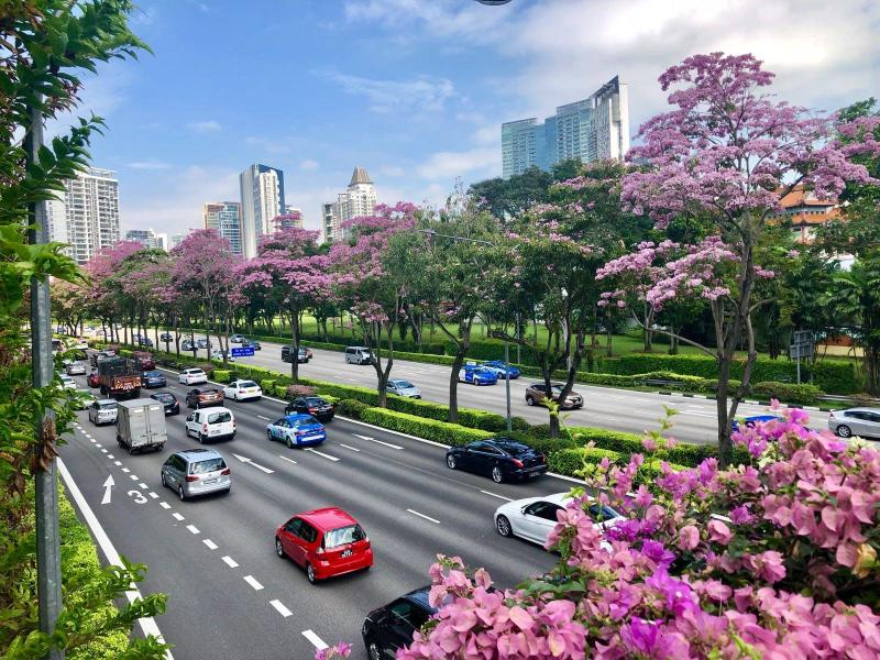 Singapore decked with pretty in pink sakuras as trumpet tree singapore decked with pretty in pink sakuras as trumpet tree flowers bloom mightylinksfo