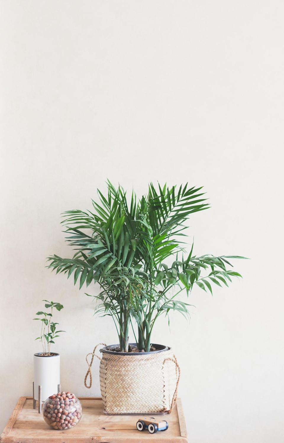 <p>This tree is serious business - it's one of the best air-purifying plants! You can expect it to keep your home's air cool, clean, and pleasantly humid.</p>