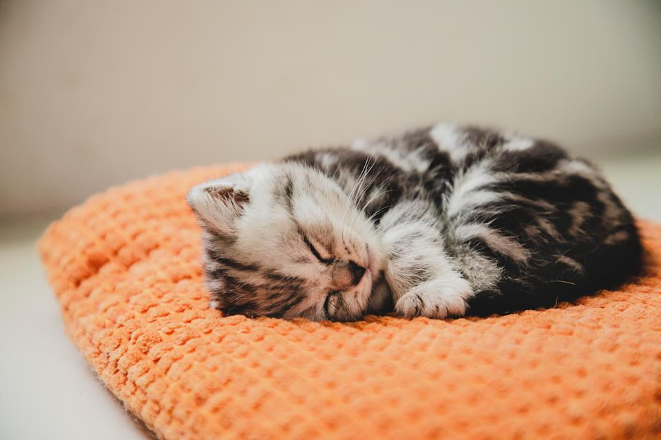 shorthair striped cat taking a nap on a pillow