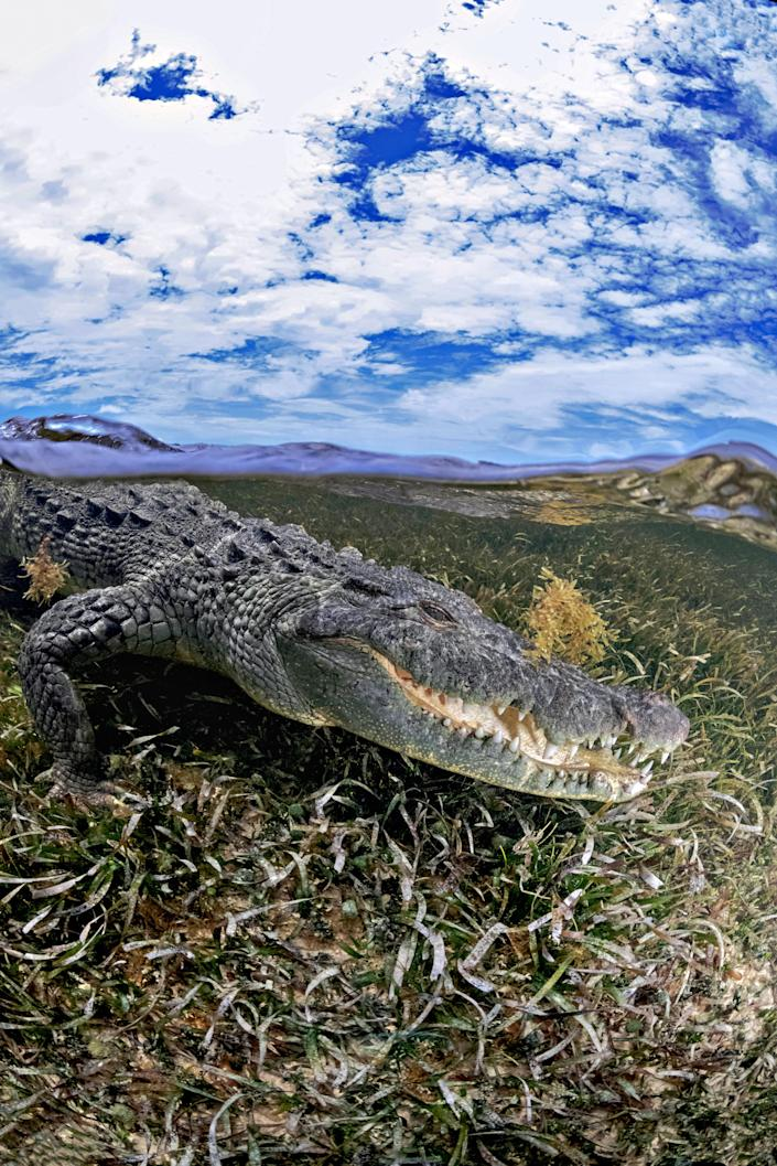 """<p>He said: """"The images show the American saltwater crocodiles that come out from the mangroves of Banco Chinchorro, where there approximately 500 of them. (Photo: Alex Suh/Caters News) </p>"""