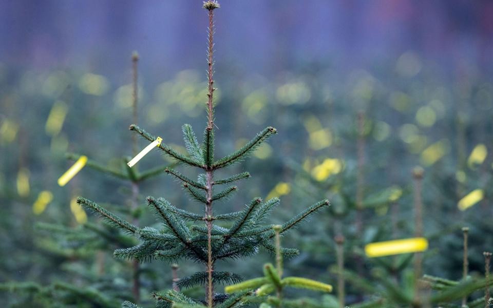If you're buying a real tree this year, you need to make sure it won't shed every single needle before Christmas Eve - Alamy