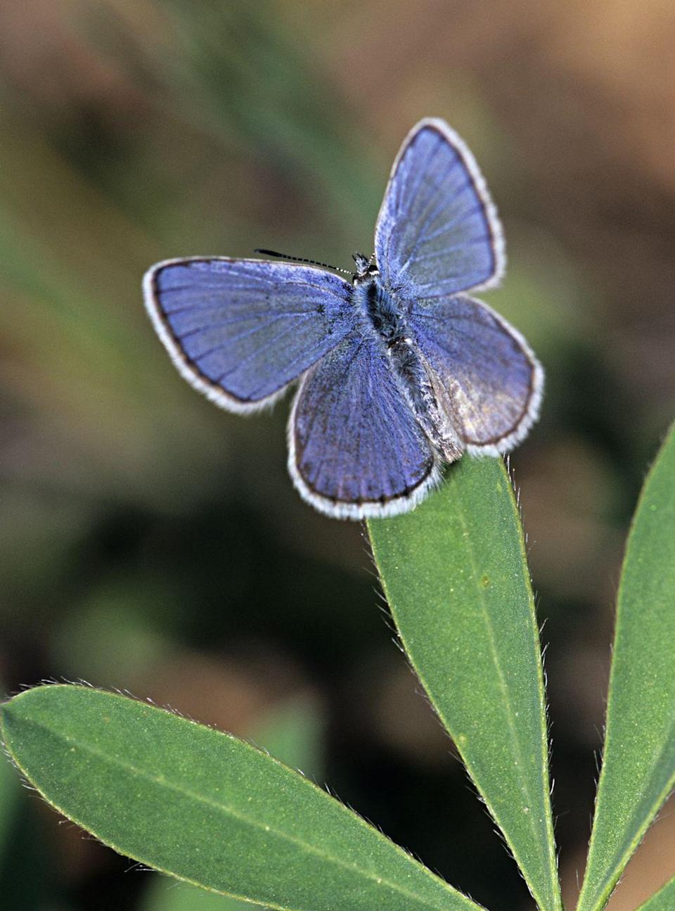 <p><strong>Karner Blue - </strong>Only found in the Oak Savanna ecosystem, the Karner Blue butterfly suffers as its home becomes smaller and smaller. Restoration efforts are underway.</p>